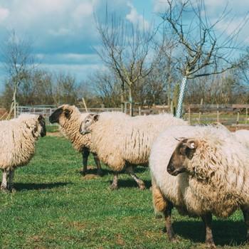 Schafe auf der Wiese (Foto: Hojabr Riahi)