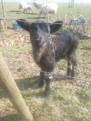 Pia das schwarze Schaf vom Lammertzhof