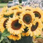 Hoffest Lammertzhof Sonnenblumen